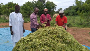 Chopped Maize being Prepared for Silage at Maraban Guga, Kaduna State.