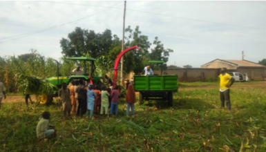 Harvesting and chopping of forage sorghum, Kano State.