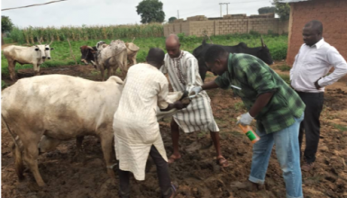Prophylactic and Symptomatic Treatment of Cows at Maraban Gwanda, Sabon Gari LGA, Kaduna.